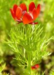 Herbst Feuerroeschen Bluete rot Adonis annua 01