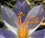 Herbst Krokus Bluete helllila Crocus speciosus 03