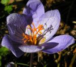 Herbst Krokus Bluete helllila Crocus speciosus 05