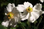 Herbstanemone Bluete weiss Anemone hupehensis 03