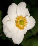 Herbstanemone Bluete weiss Anemone hupehensis 04