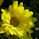 Herbstchrysantheme Winteraster gelb Chrysanthemum Dendranthema 03