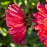 Herbstchrysantheme Winteraster weinrot Chrysanthemum Dendranthema 02