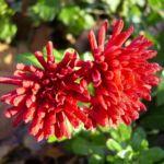 Herbstchrysantheme Winteraster weinrot Chrysanthemum Dendranthema 04