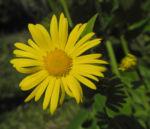 Herzblaettrige Gaemswurz Bluete gelb Doronicum columnae 10