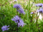 Herzblaettrige Kugelblume Bluete blau Globularia cordifolia 01