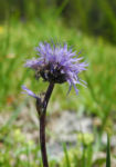Herzblaettrige Kugelblume Bluete blau Globularia cordifolia 02