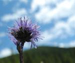 Herzblaettrige Kugelblume Bluete blau Globularia cordifolia 04