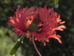 Hibiskus Blüte rose Hibiscus schizopetalus  02