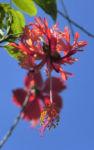 Hibiskus Blüte rose Hibiscus schizopetalus  03