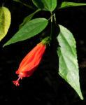 Hibiskus Strauch Bluete rot Hibiscus 12