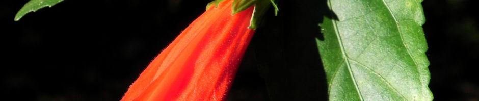 hibiskus-strauch-bluete-rot-hibiscus