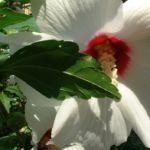 Hibiskus weiss rot Hibiscus syriacus 01