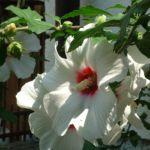 Hibiskus weiss rot Hibiscus syriacus 04