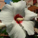 Hibiskus weiss rot Hibiscus syriacus 05