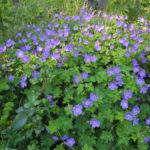 Himalaya Storchschnabel Bluete blau lila Geranium himalayense 01