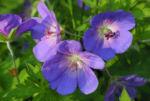 Himalaya Storchschnabel Bluete blau lila Geranium himalayense 06