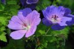 Himalaya Storchschnabel Bluete blau lila Geranium himalayense 08