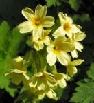 Hohe Schluesselblume Bluete gelb Primula elatior 02