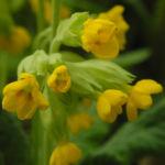Hohe Schluesselblume Bluete gelb Primula elatior0 1
