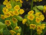 Hohe Schluesselblume Bluete gelb Primula elatior03