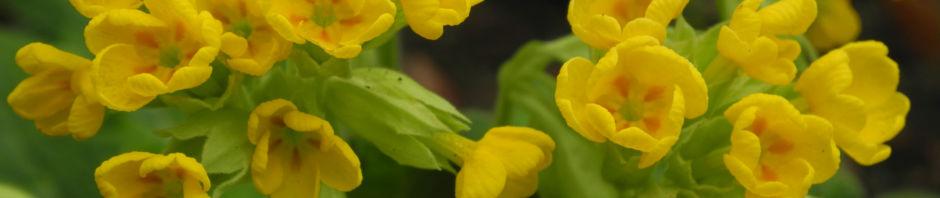 hohe-schluesselblume-bluete-gelb-primula-elatior