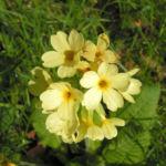 Hohe Schluesselblume Bluete hellgelb Primula elatior 03