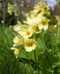 Hohe Schluesselblume Bluete hellgelb Primula elatior 04