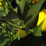 Hoher Sonnenhut Blatt gruen Rudbeckia nitida 03