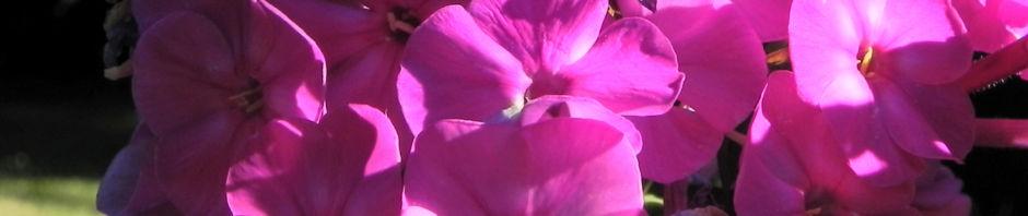 hoher-stauden-phlox-bluete-pink-phlox-paniculata