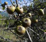 Holzapfel Frucht gruen Malus sylvestris 01