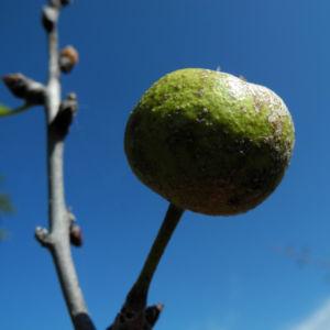 Holzapfel Frucht gruen Malus sylvestris 09