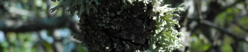 holzapfel-frucht-gruen-malus-sylvestris