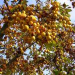 Holzapfel gelb orange Fruechte Malus Butterball 01