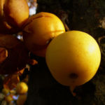 Holzapfel gelb orange Fruechte Malus Butterball 05