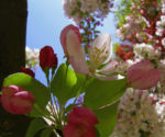 Holzapfel weiss rosa Bluete Malus sylvestris 02