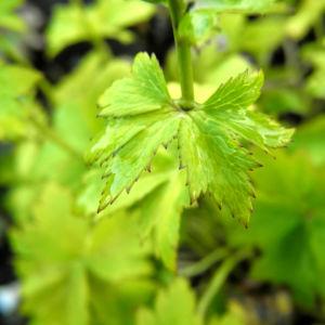Hondo Trollblume Blatt gruen Trollius hondoensis 06