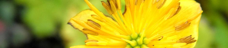 hondo-trollblume-bluete-gelb-trollius-hondoensis