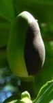 Honoki Magnolia Baum Bluete weiss Magnolia hypoleuca 57 37