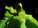 Honoki Magnolia Baum Bluete weiss Magnolia hypoleuca 57 40