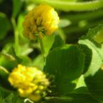 Hopfen Klee Gelbklee Bluete gelb Medicago lupulina 01