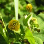 Hopfen Klee Gelbklee Bluete gelb Medicago lupulina 03