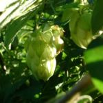 Hopfen Zapfen Humulus lupulus 02