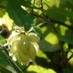 Hopfen Zapfen Humulus lupulus 03