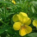 Horn Veilchen gelb Viola cornuta 02