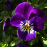 Horn Veilchen lila Bluete Viola cornuta 01