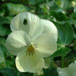 Horn Veilchen weiss Viola cornuta 03