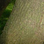 Hornfrucht Ahorn Acer diabolicum 01