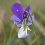 Hornveilchen Bluete blau weiss Viola Cornuta 04