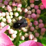 Hortensie Bluete rot Hydrangea hortensia 19